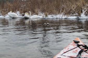 mute swans viewed with kayak image
