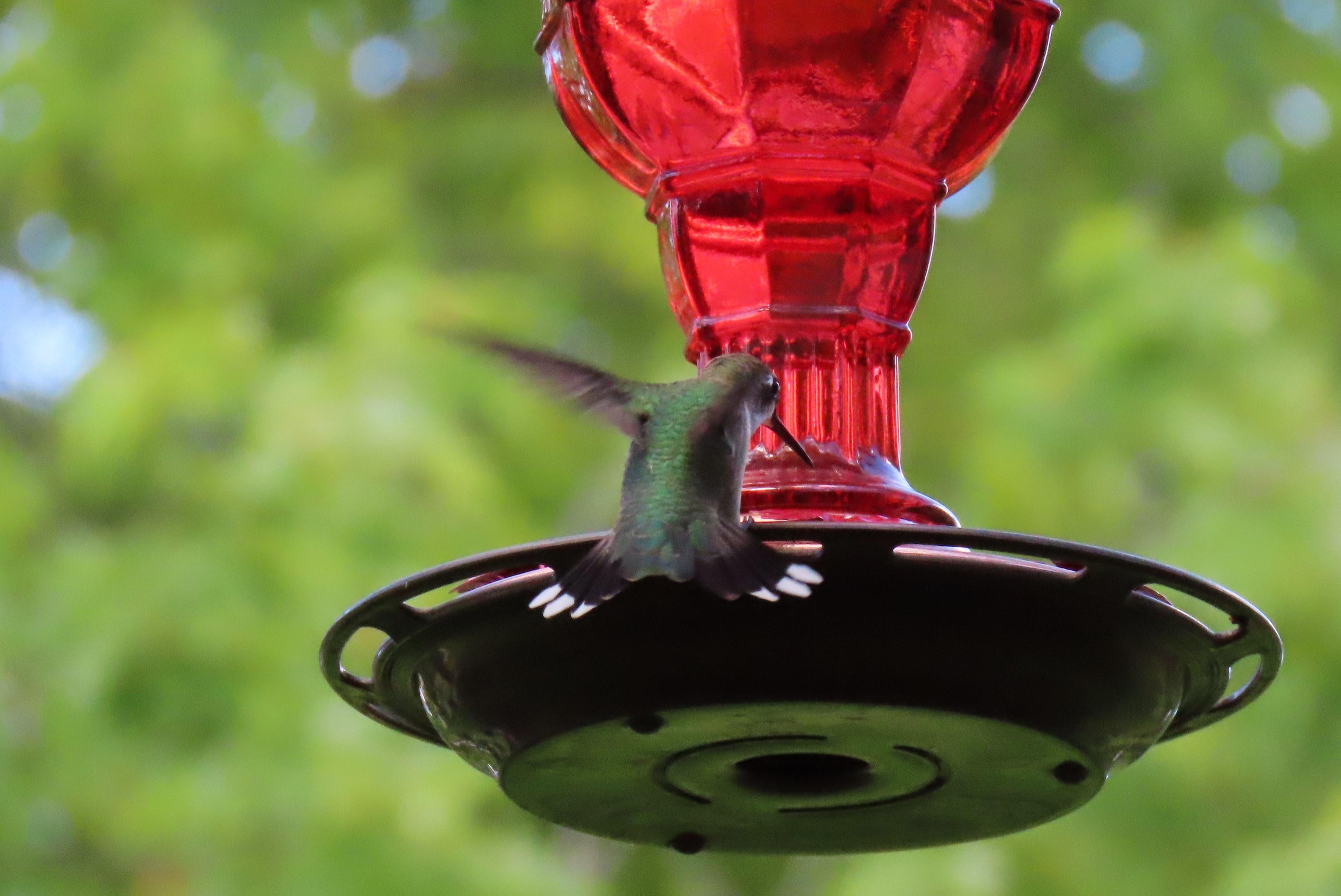 Hummingbird landing on feeder
