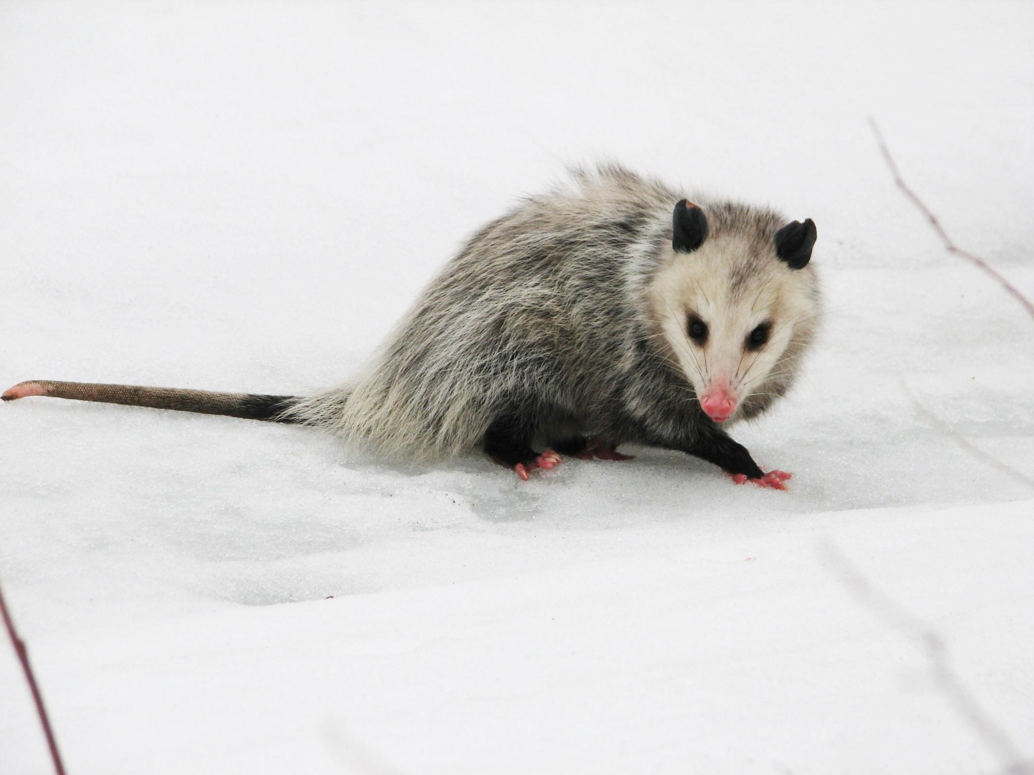 opossum on snow