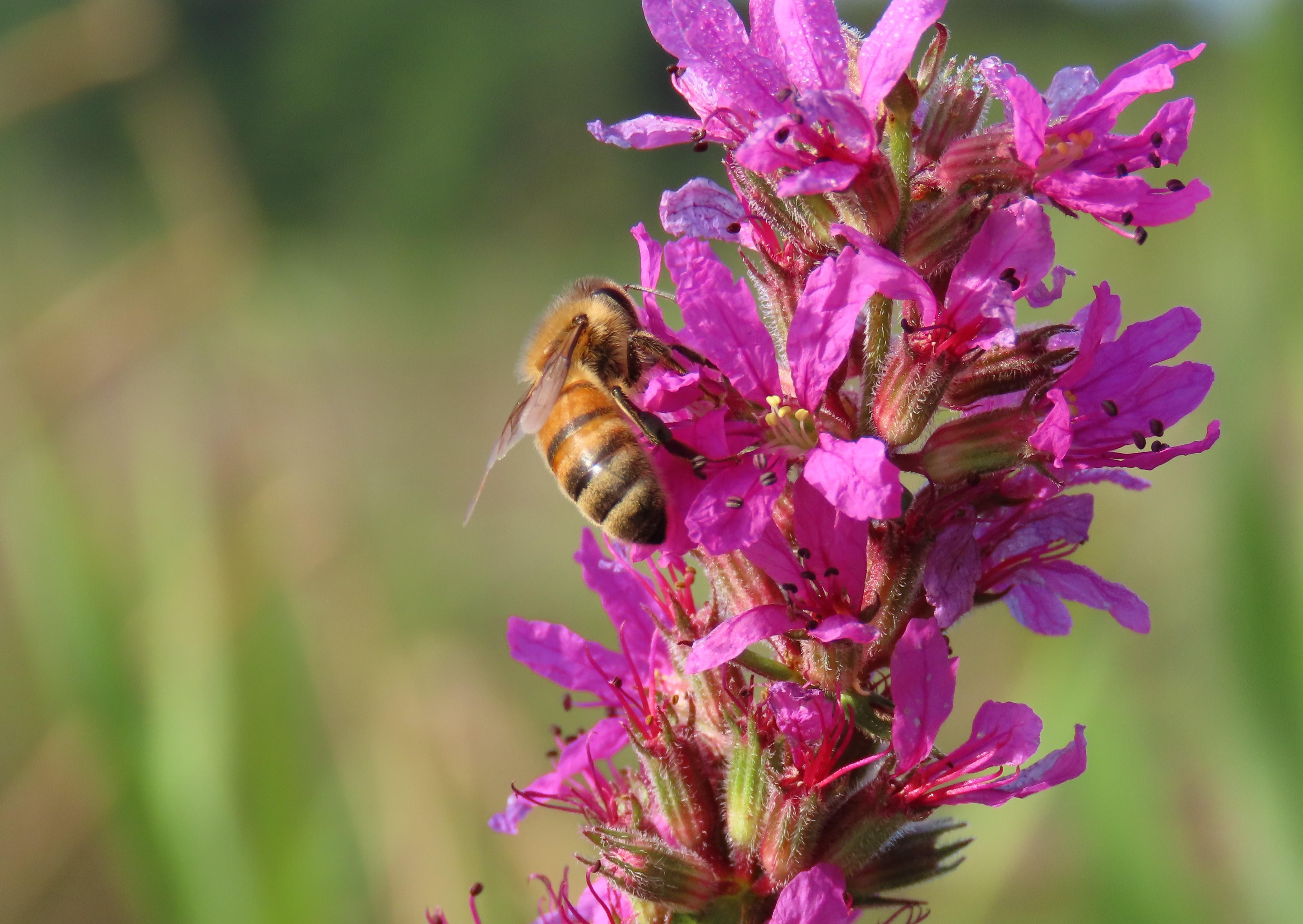 honey bee on purple loosestrife