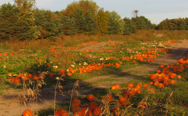 frost on pumpkin field