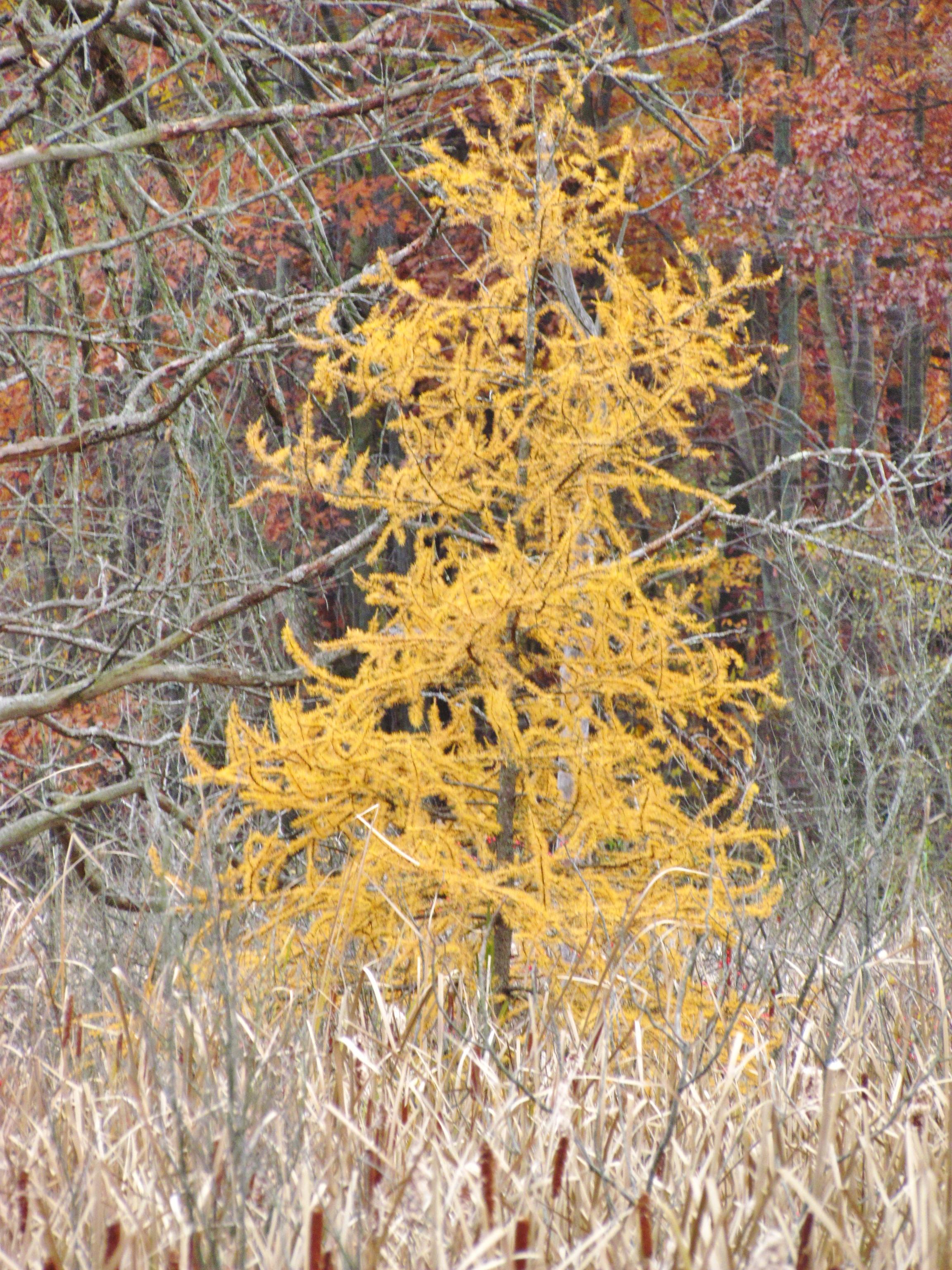 yellow tamarack tree