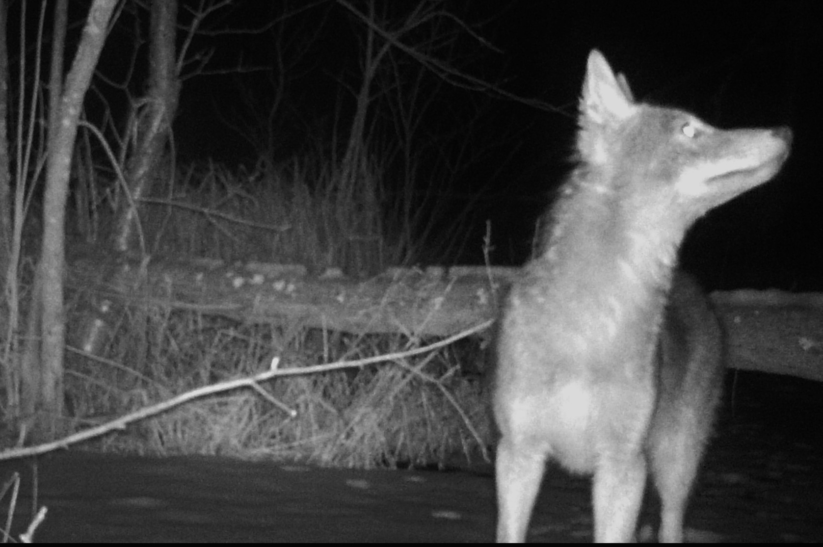 coyote during night