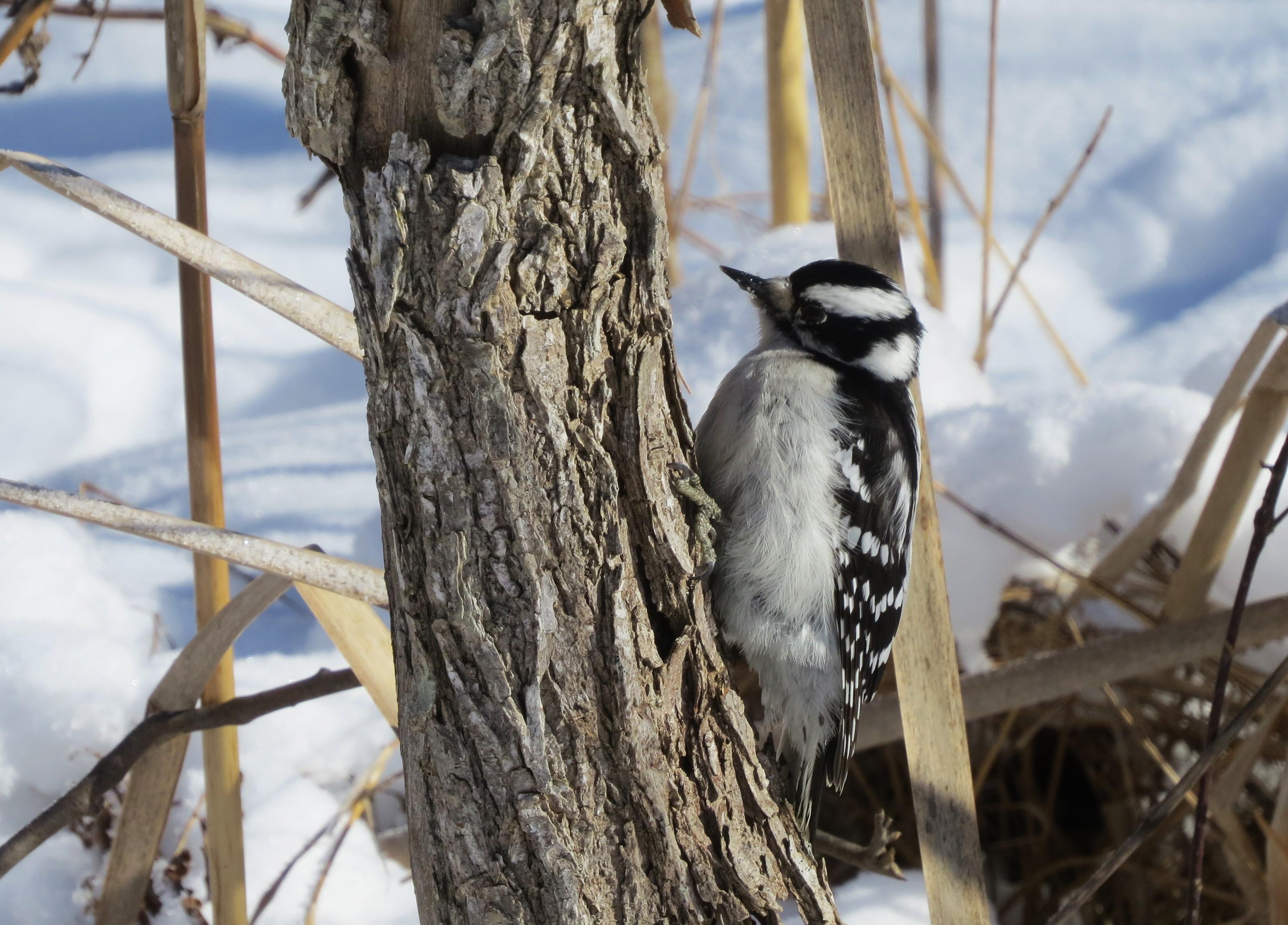 woodpecker on snowy tree trunk