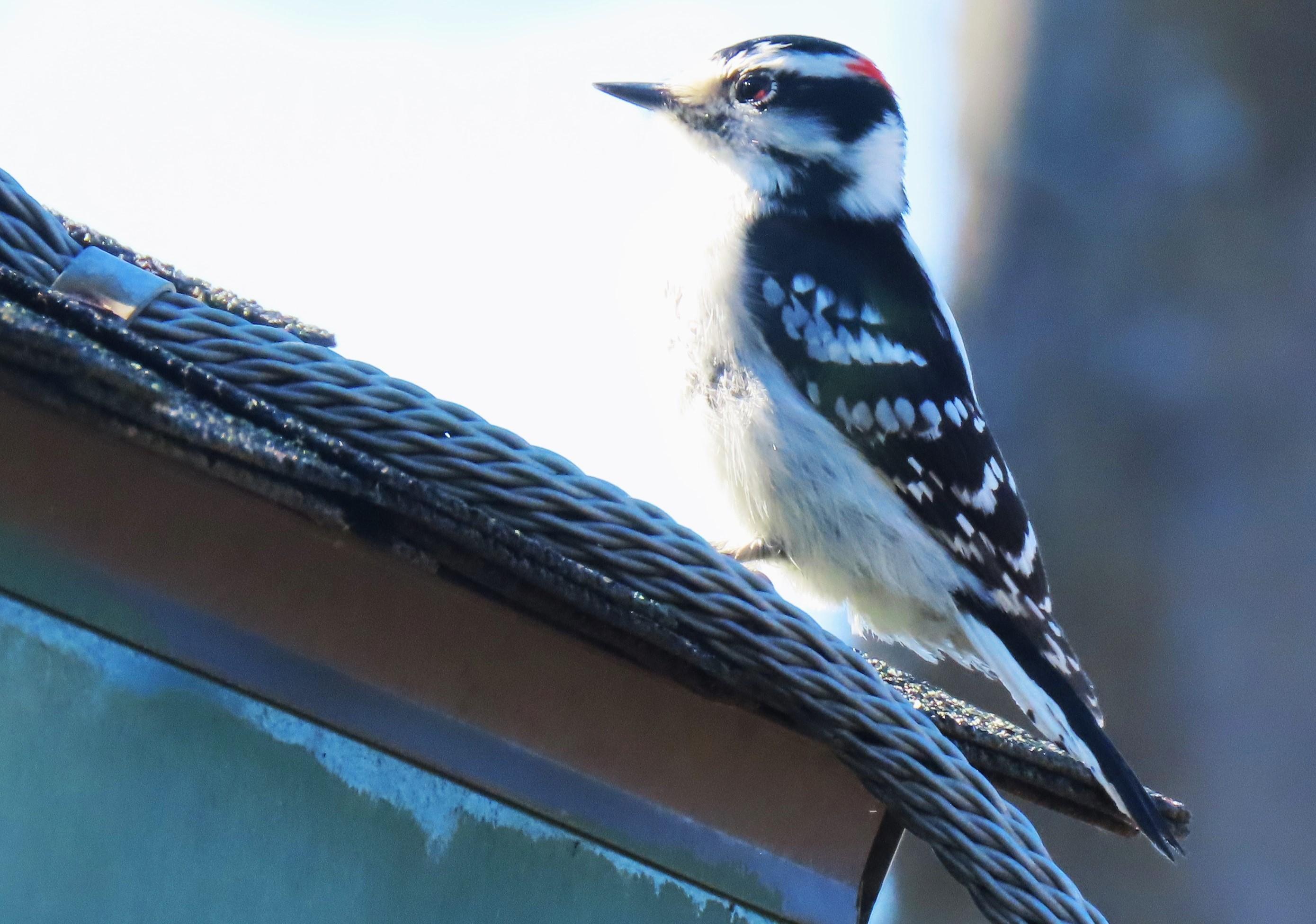 woodpecker on roof