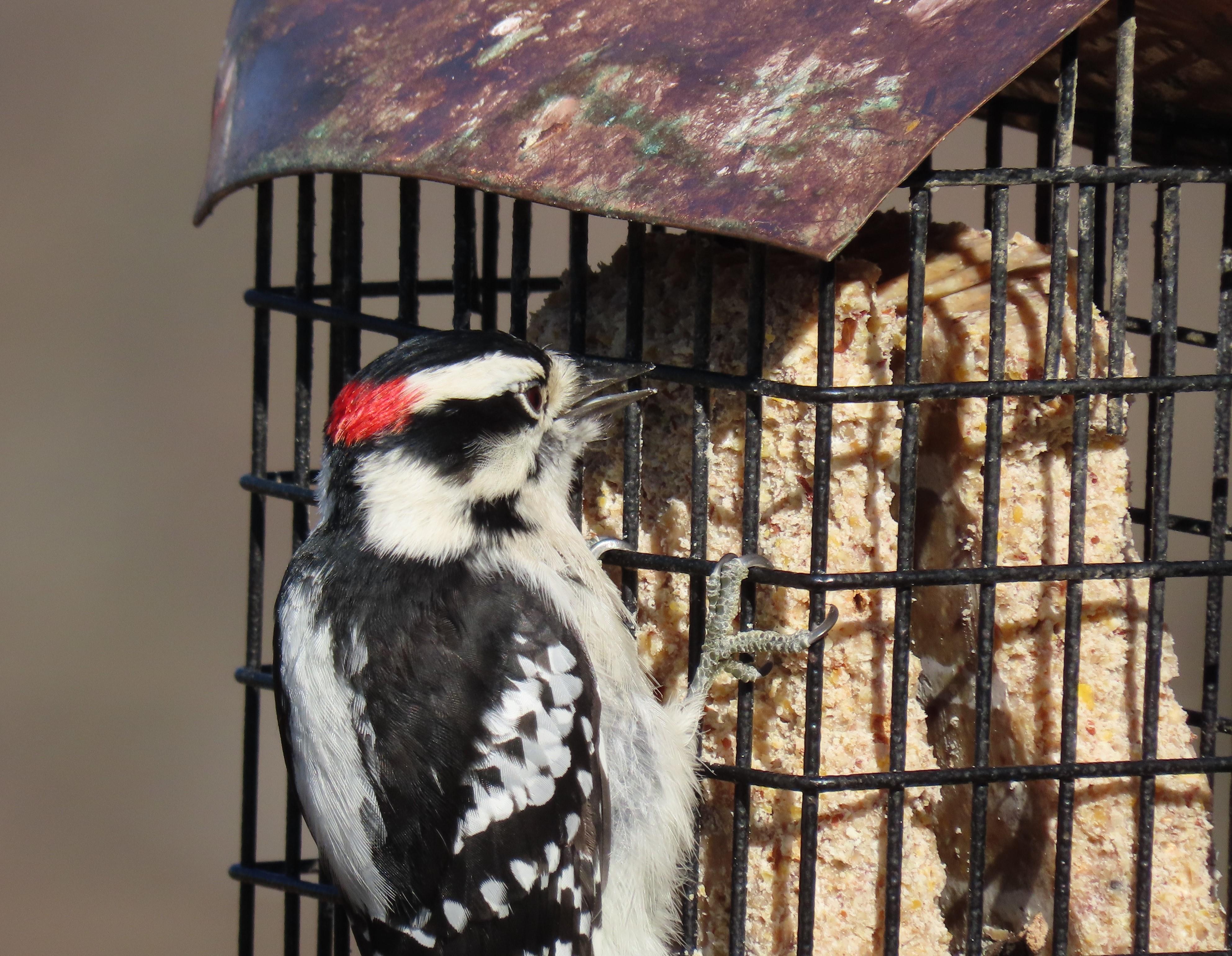 woodpecker on feeder