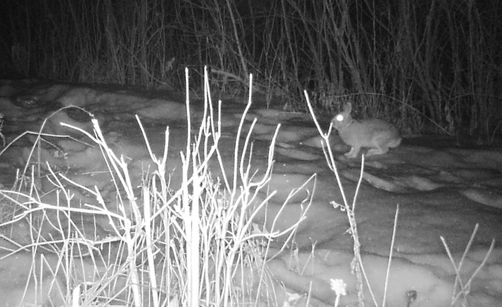 coyote on night camera