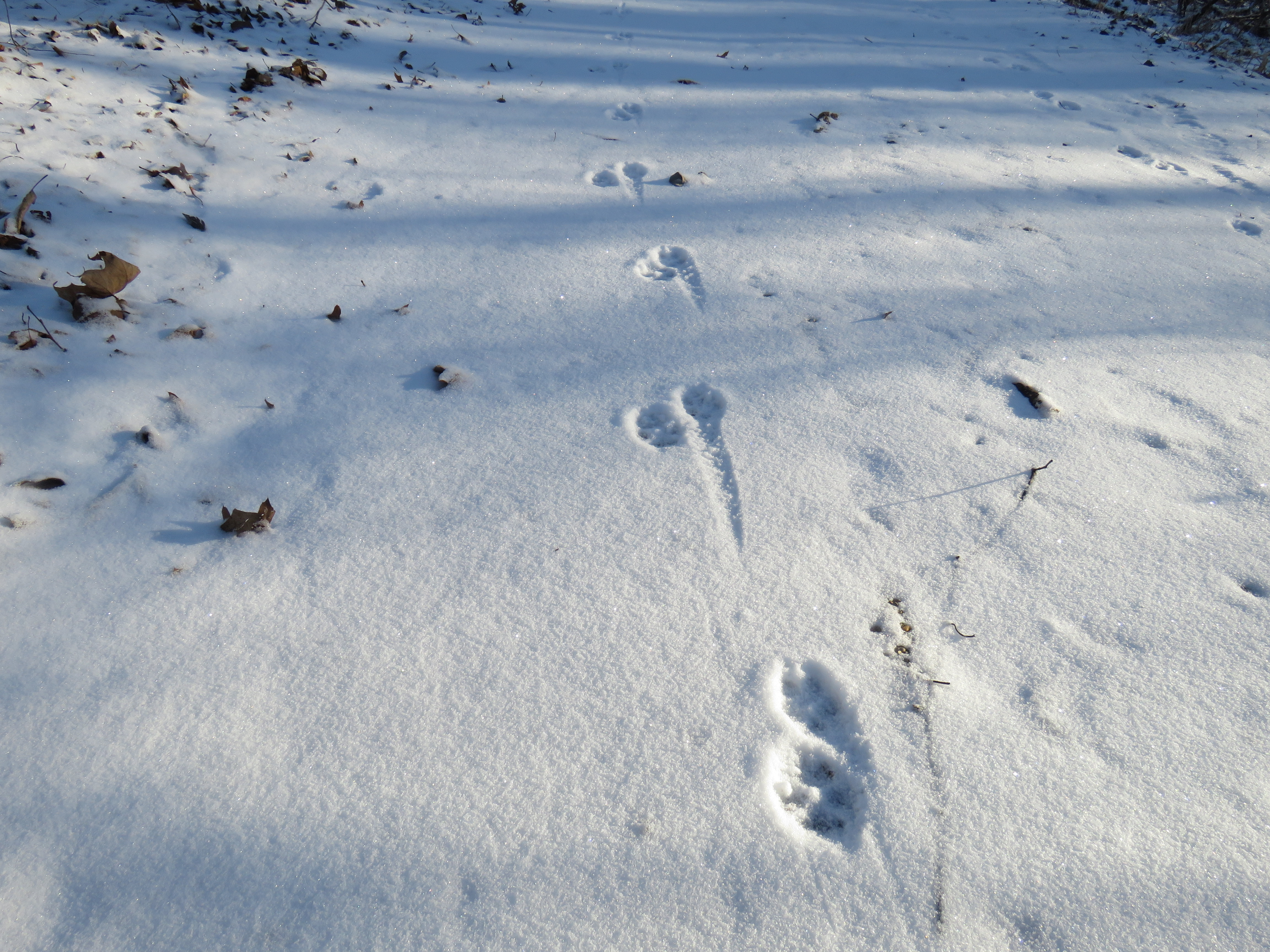 coyote tracks in snow