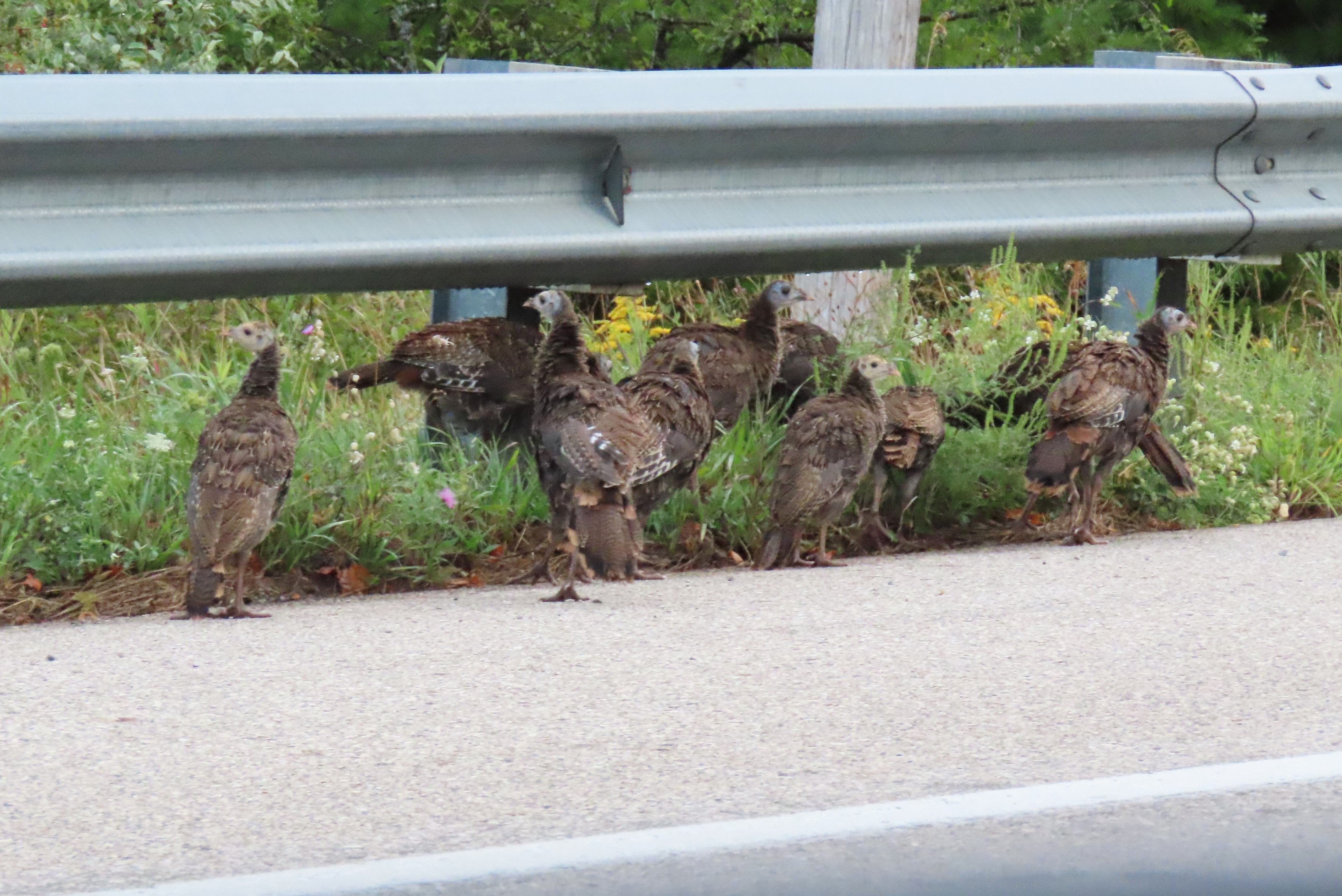 turkey poults at roadside