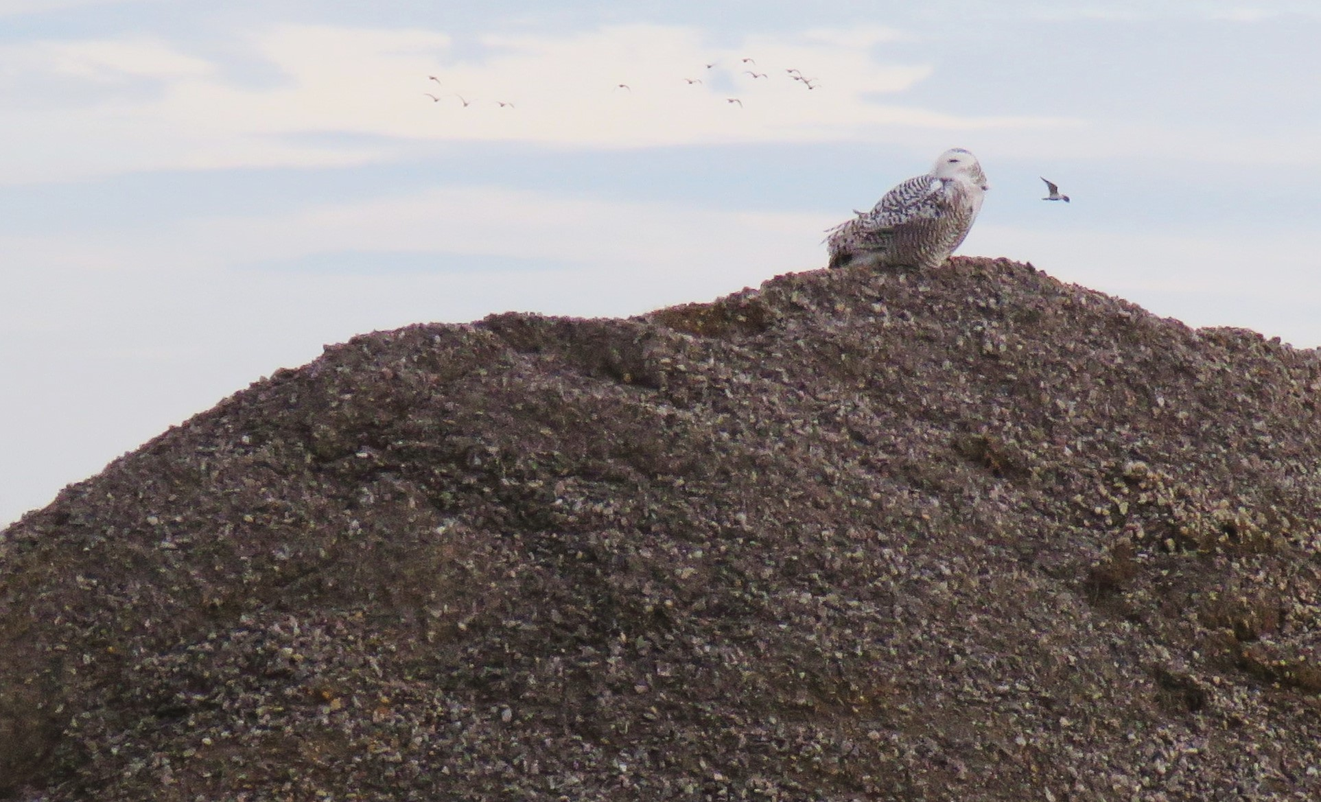 snowy owl on gravel pile