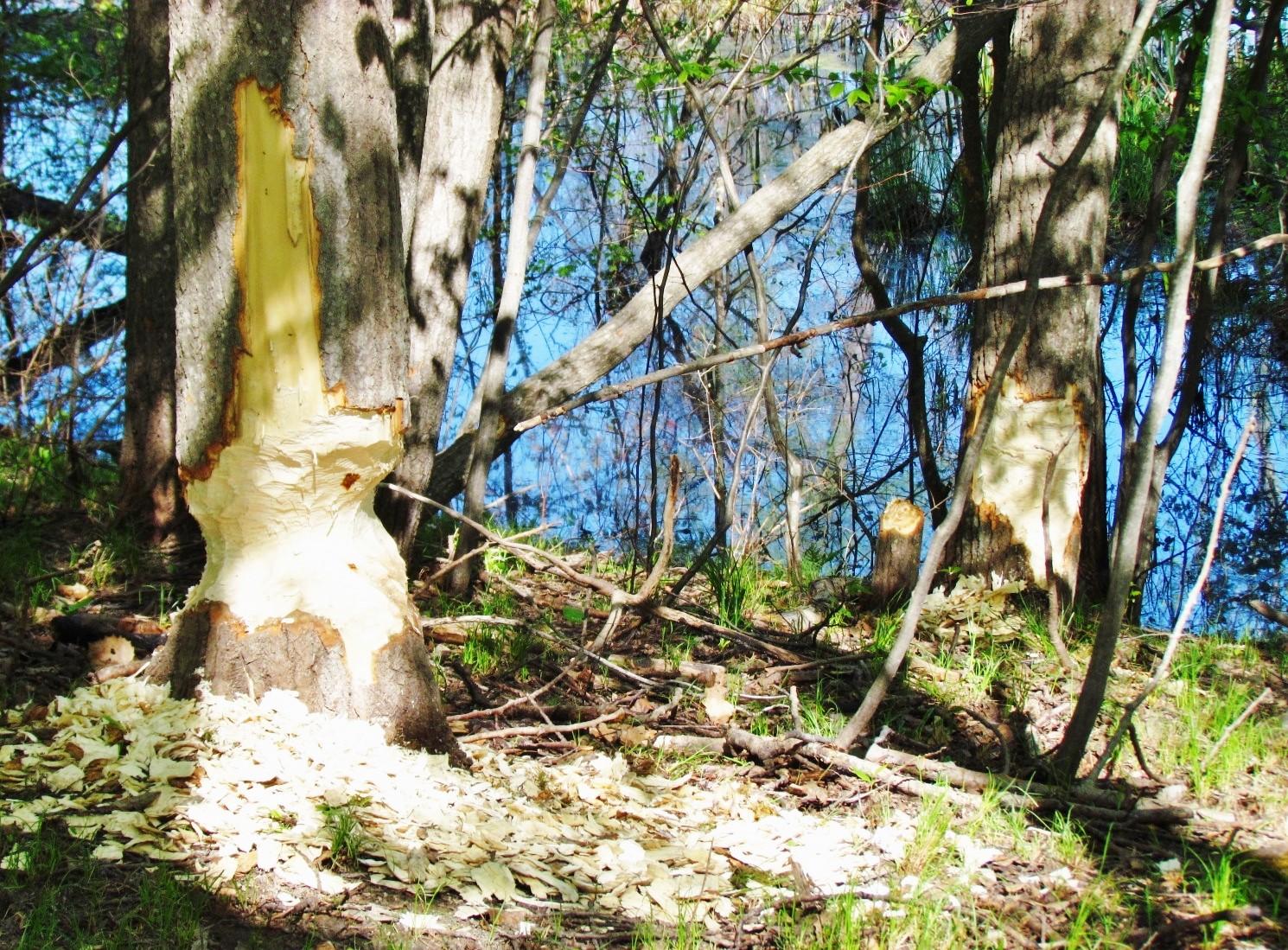 spring time beaver gnawing