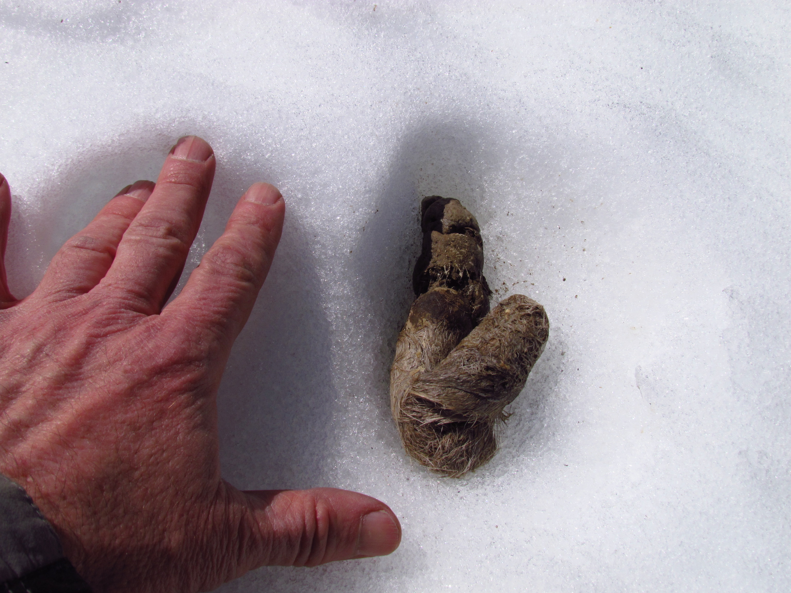 coyote scat in snow
