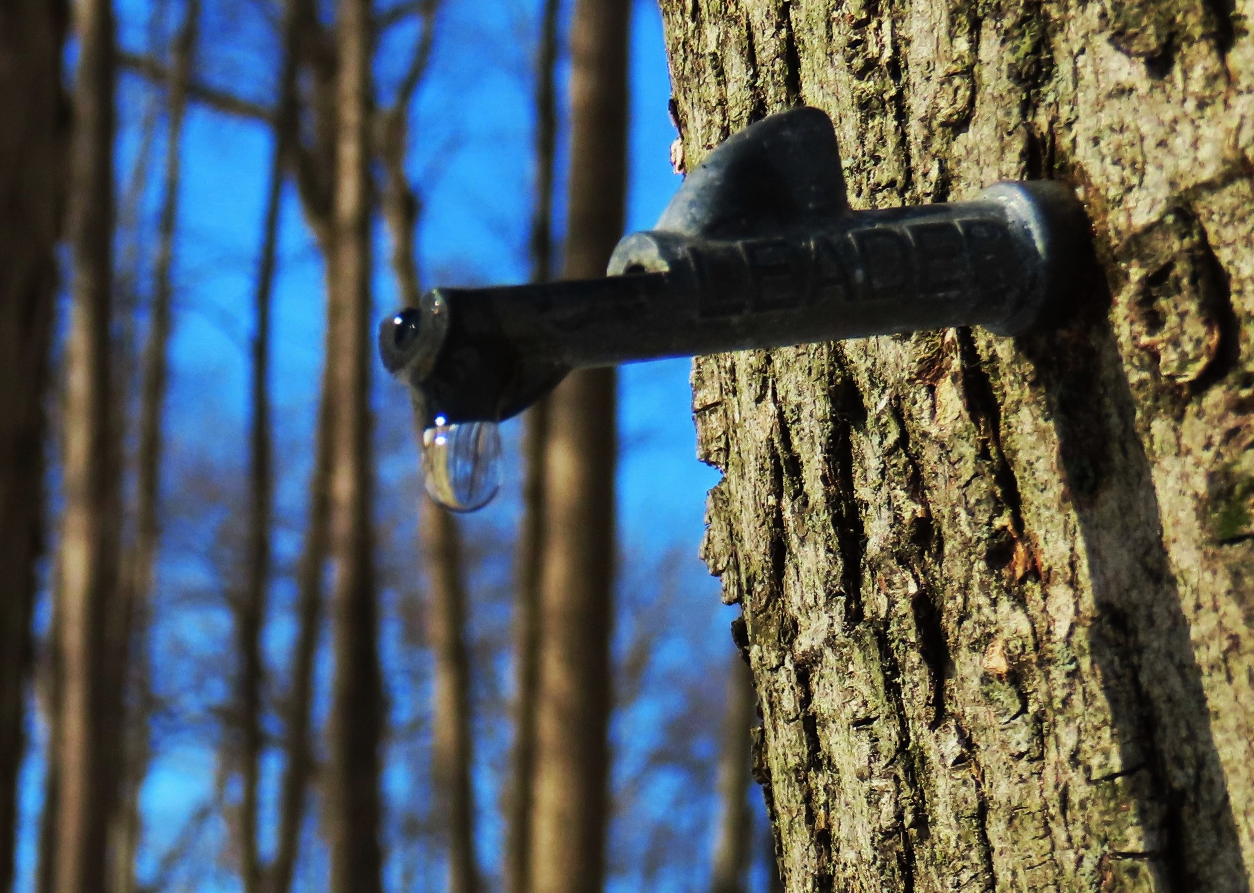Maple sap drips from a tap