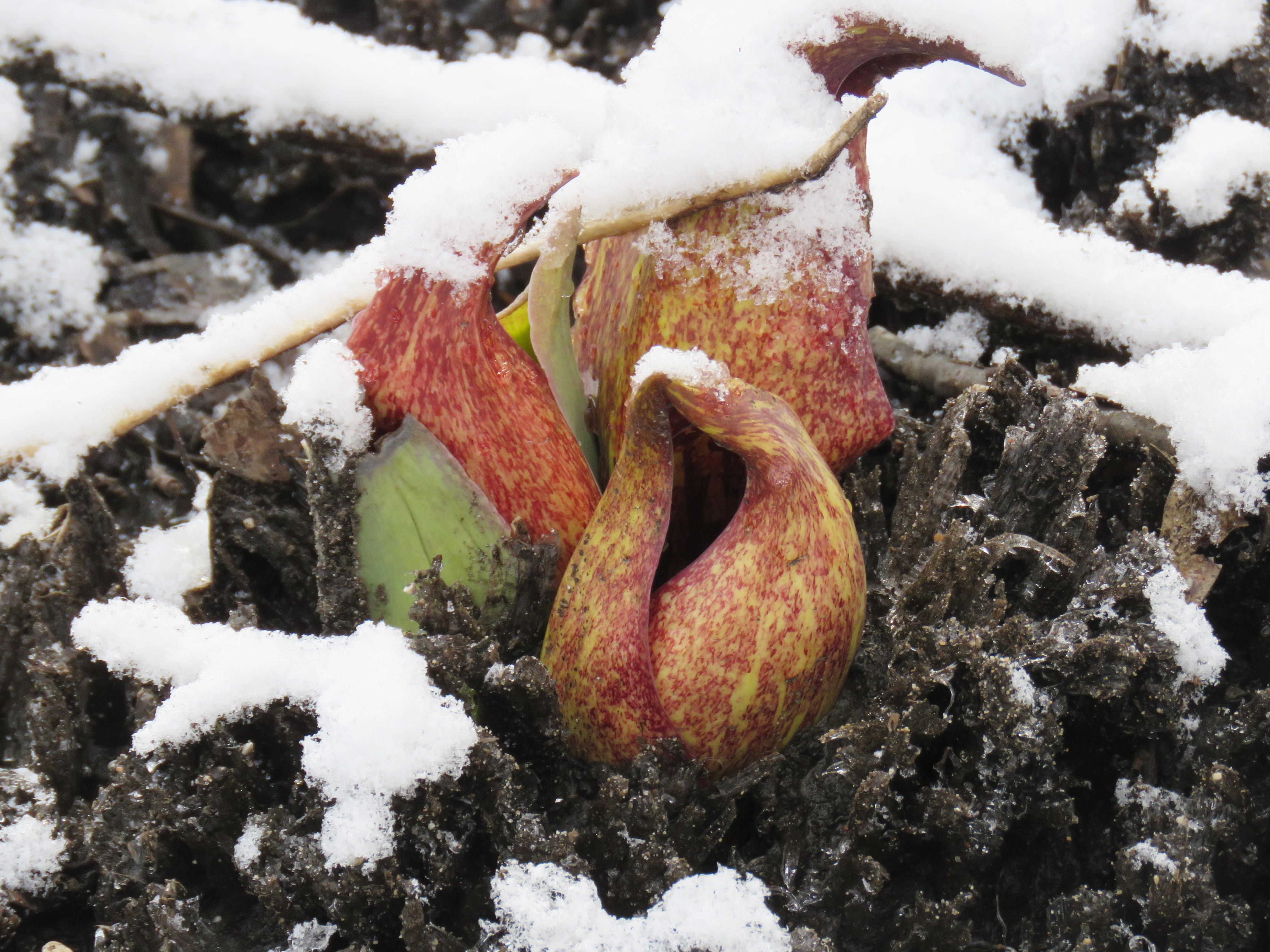 Skunk cabbage emerges through snow