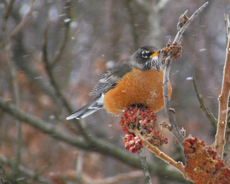A Robin feeding on sumac as snowflakes fall around it