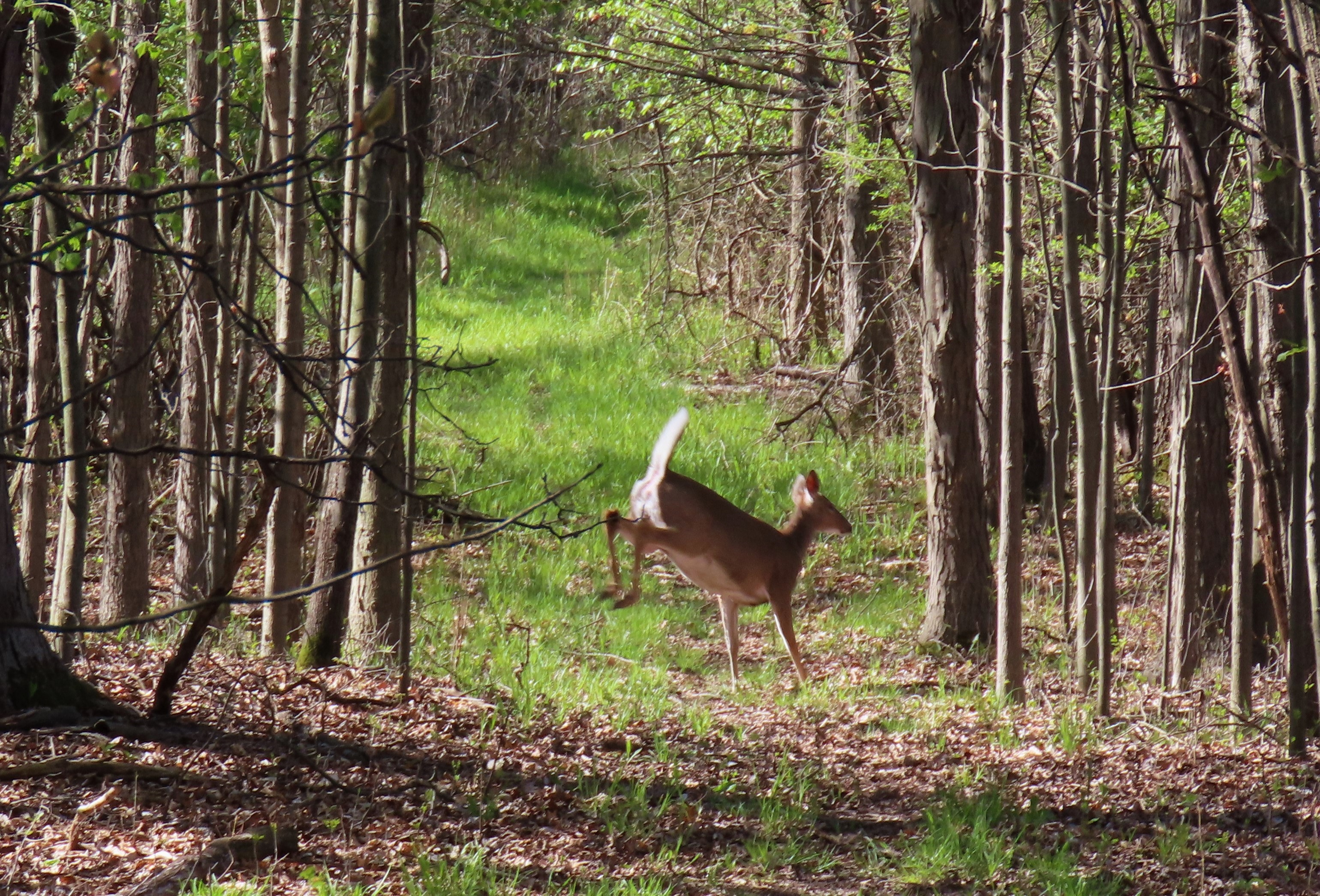 A white-tailed deer bounds across a trail
