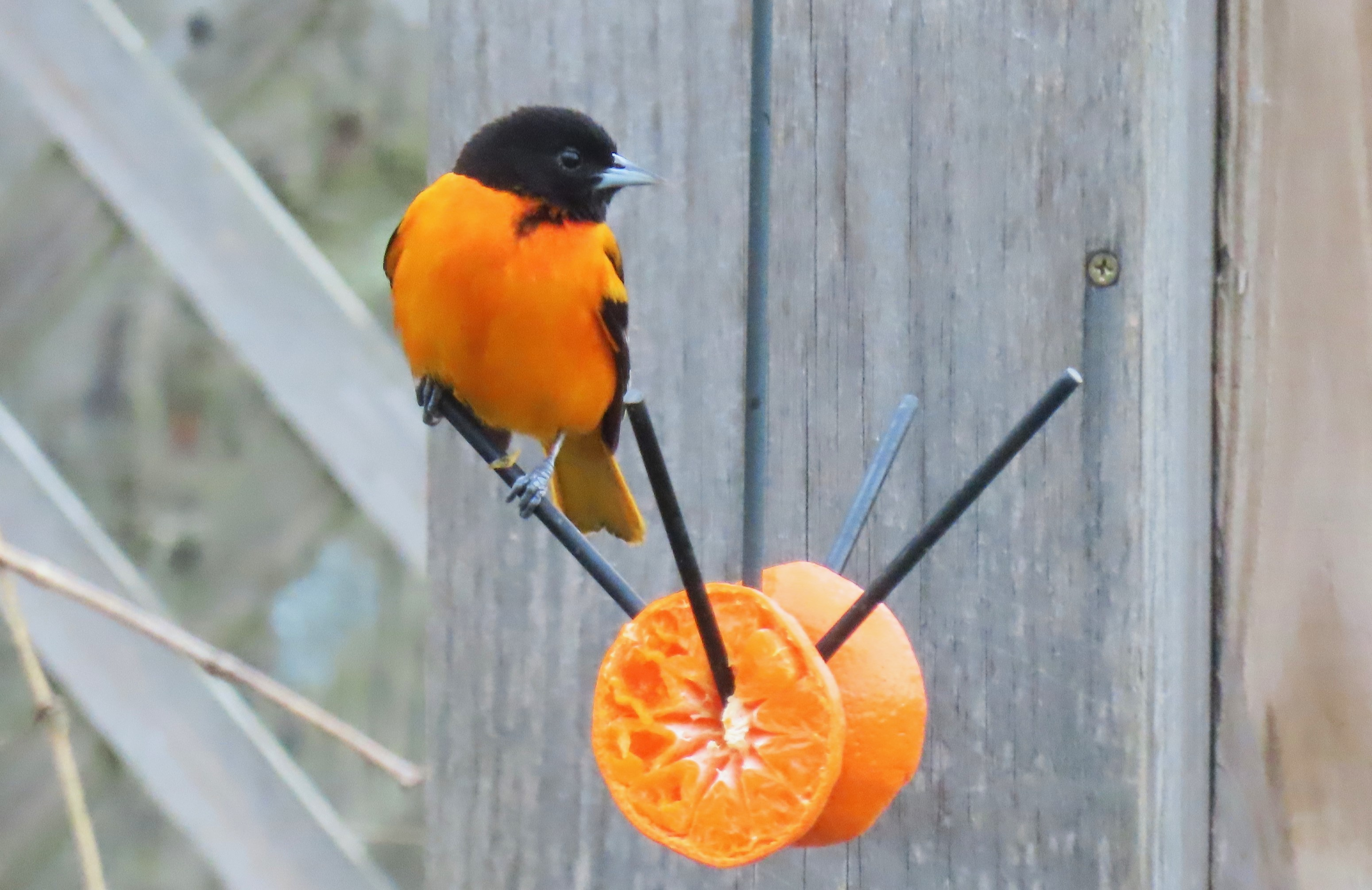 A male Baltimore Oriole perched on a feeder with sliced oranges