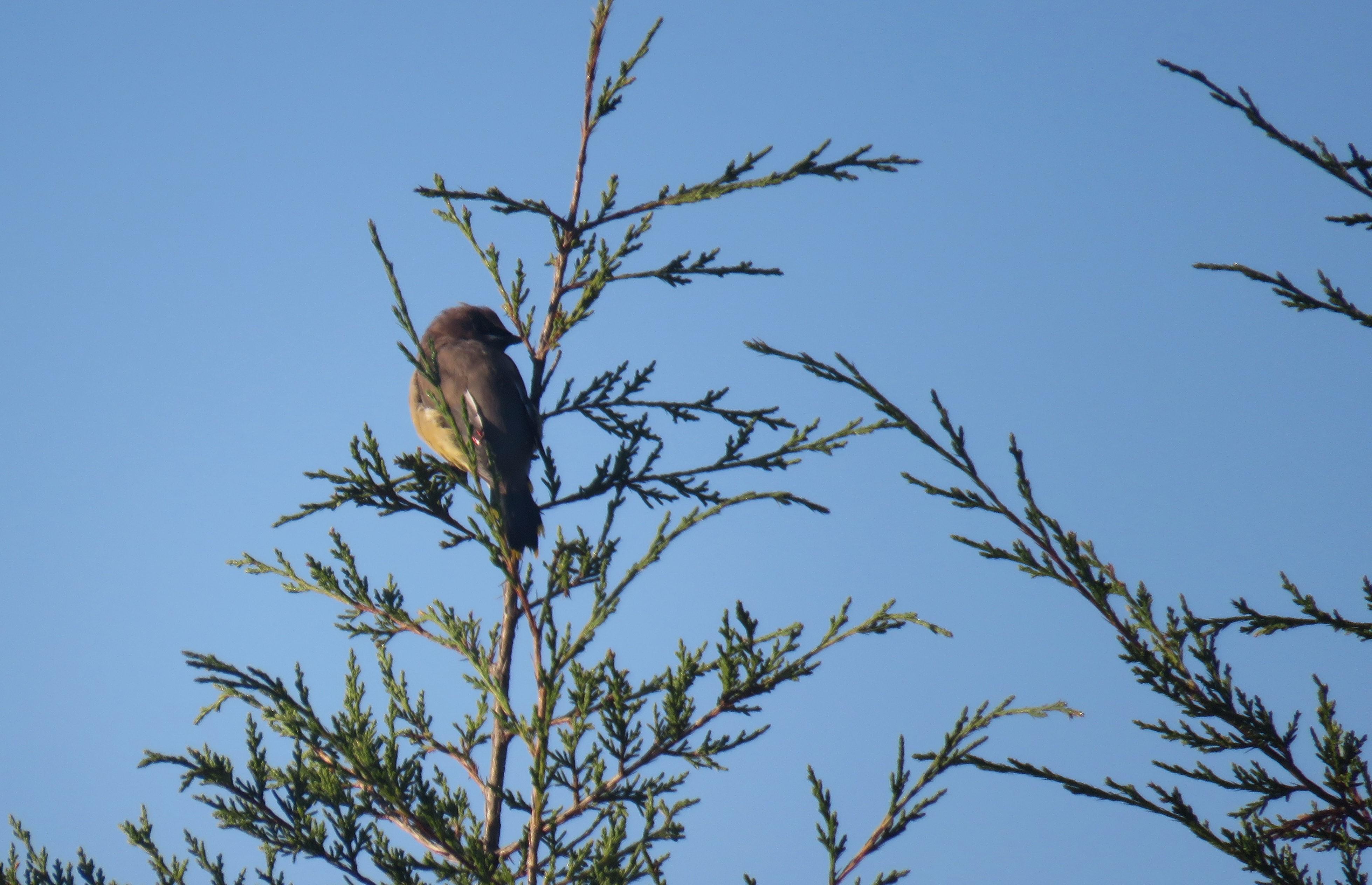 A Cedar Waxwing perched at the top of a Cedar tree