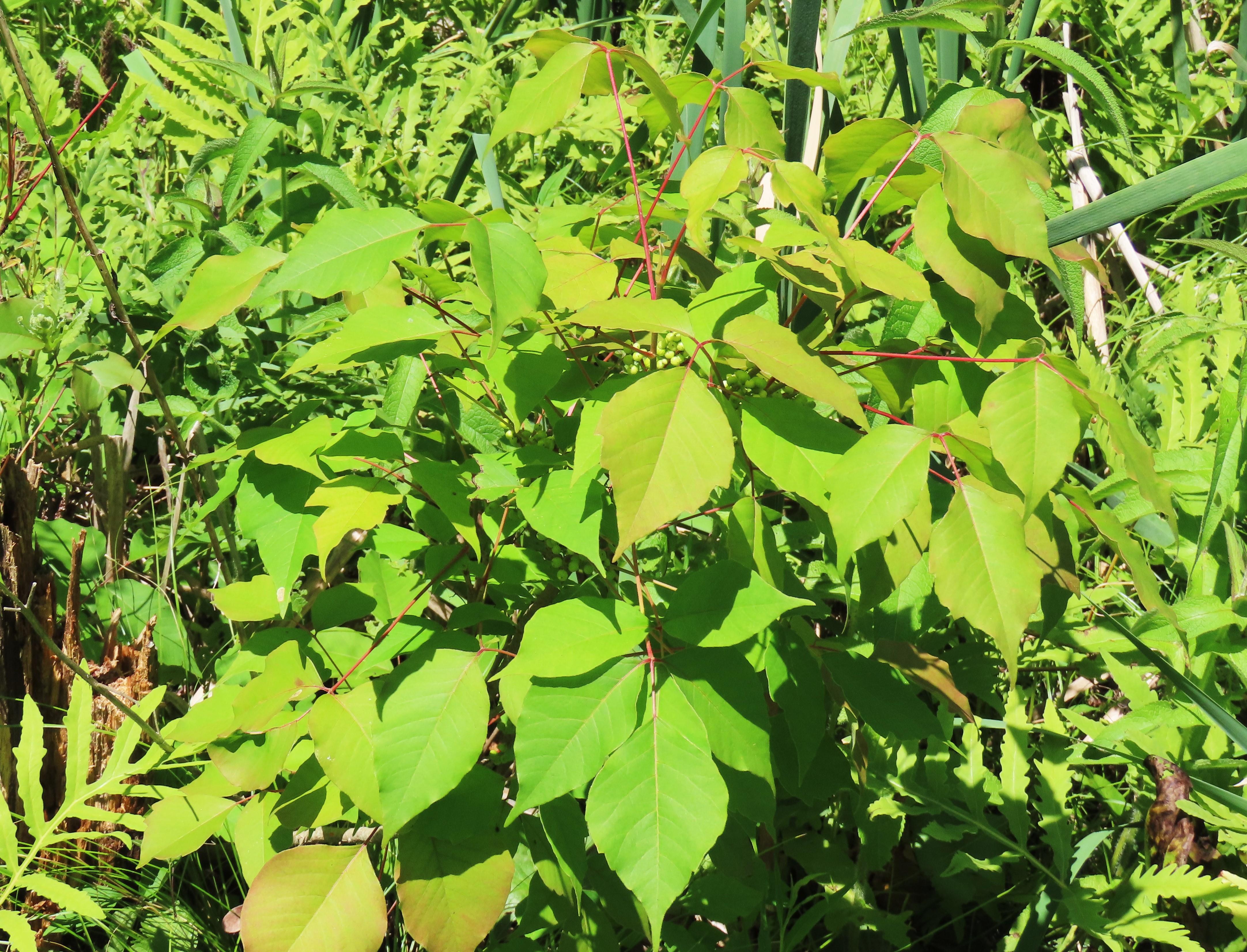 A poison ivy shrub
