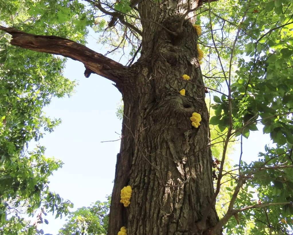 Young chicken of the woods on a tree