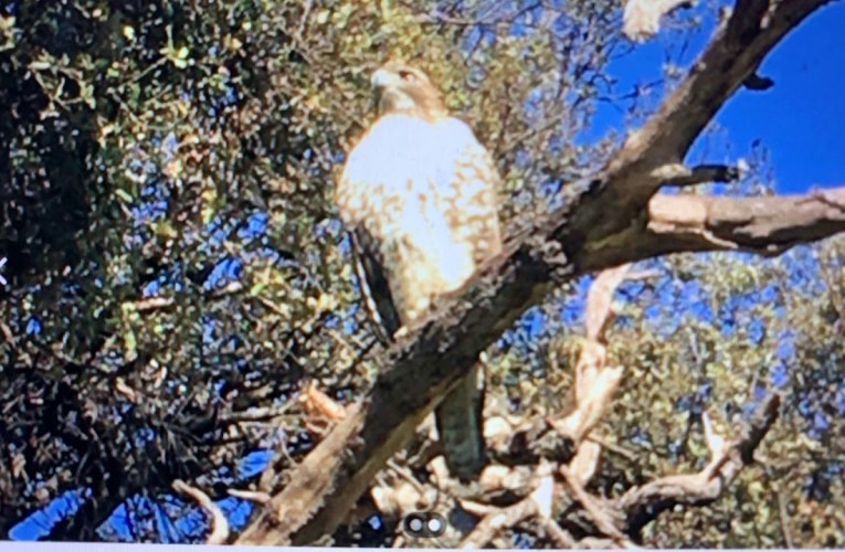Juvenile Red-Tailed Hawk Spotted At Oakland Lake Merritt, The Best Place For Birding, This Week