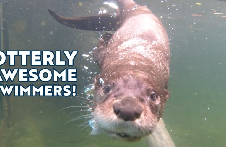 Oakland Zoo Has Otterly Awesome Swimmers!