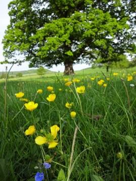 lovely buttercups and oak