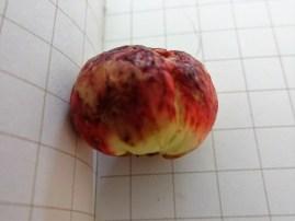 Newton wood oak apple whole 3 30 april 2017