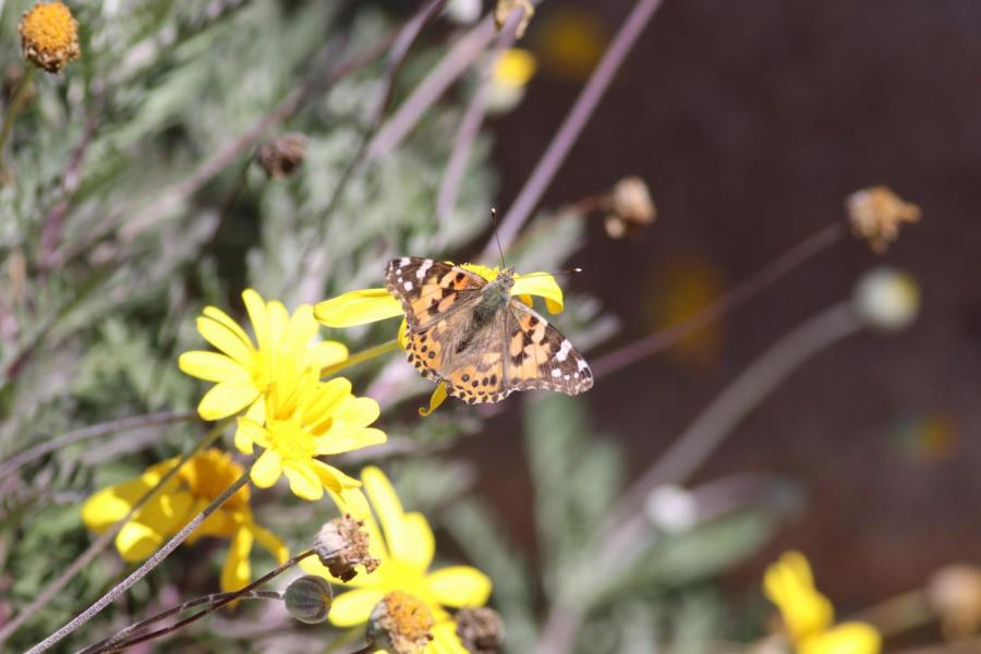 Caption: In a time where butterfly populations are dwindling, painted ladies were seen fluttering around Southern California from March 17 through the next few days, as they migrated up the coast from Mexico headed to Oregon for mating season