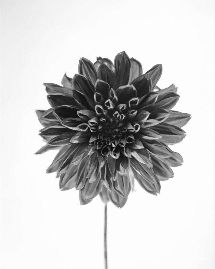 Black and White photo Dhalia flower