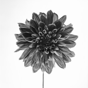 Black and White photo Dhalia flower
