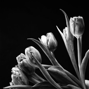 black and white photo tulip Josh Wisotzkey