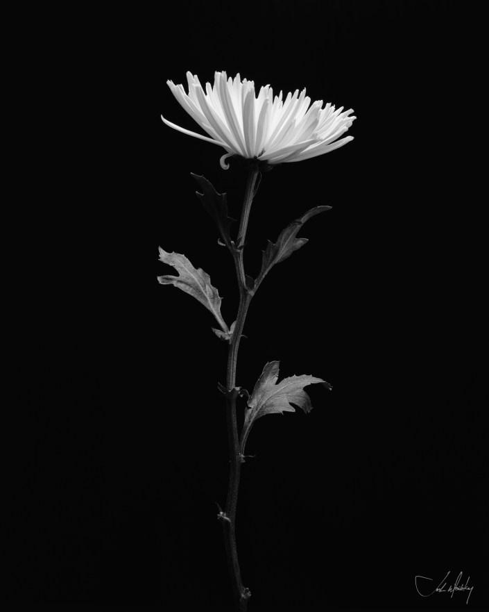 black and white photo chrysanthemum flower