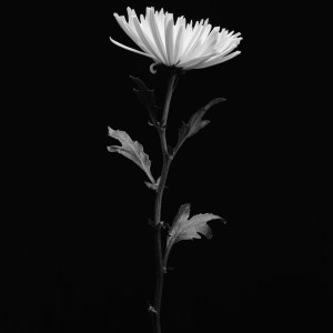 black and white photo chrysanthemum flower