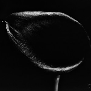 Black Calla Lilly black and white BW photograph Josh Wisotzkey
