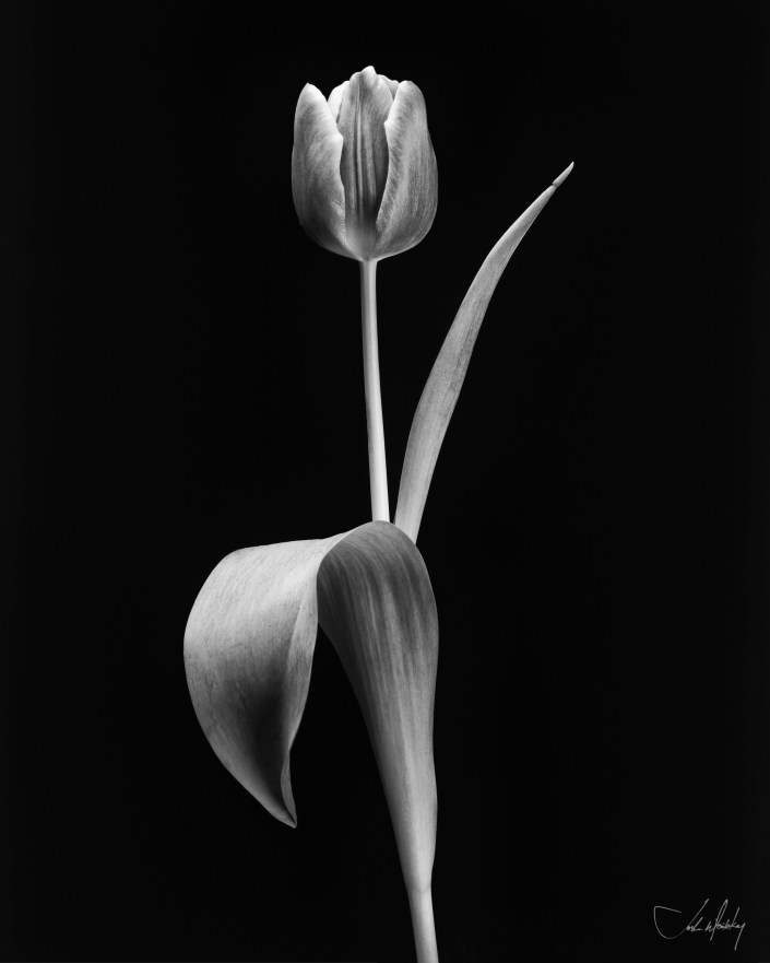 black and white tulip photograph Josh Wisotzkey