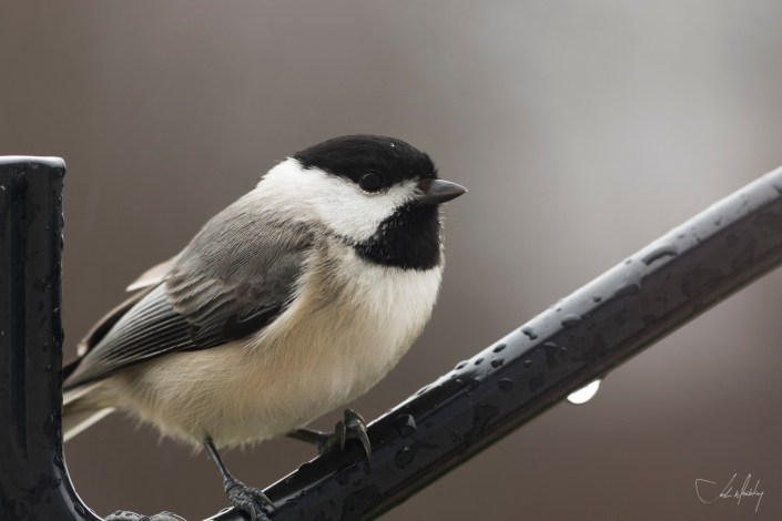 Black Capped Chickadee Josh Wisotzkey