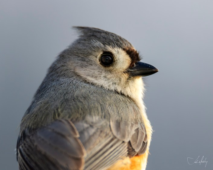 Tufted Titmouse Josh Wisotzkey