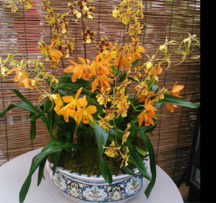 A fall orchid arrangement with oncidiums and cattleyas