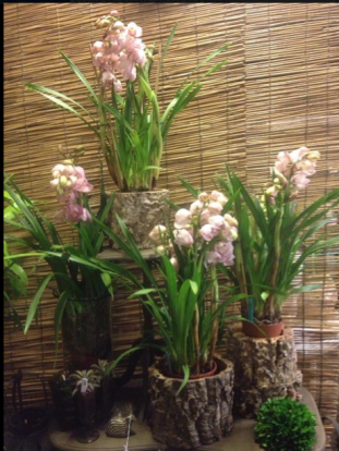 Cymbidium Orchids in Bark Planters