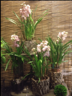 Cymbidium Orchids in Bark Planters