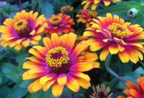 Zinnia Zowie Yellow