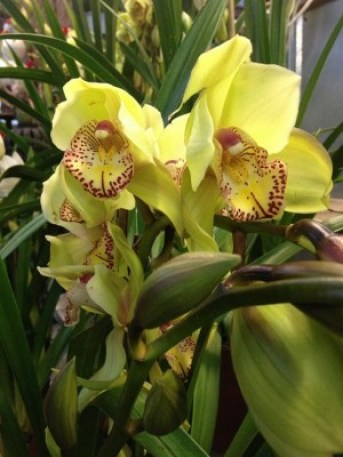 Regal cymbidium orchids make quite a statement...