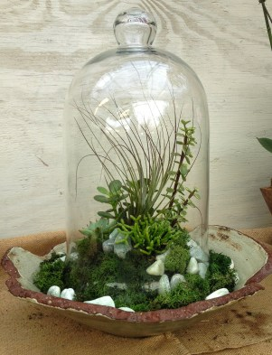Succulents under glass can be tricky. This cloche will need to be removed periodically so conditions don't become to humid for this planting of succulents and airplants...