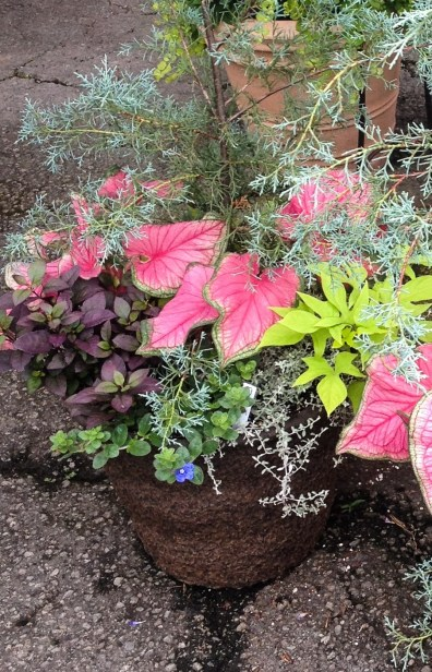 Container Planting - Sweetheart Pink Caladium, Alternanthera 'Little Ruby', Blue Daze, Lime Potato Vine, under 'Carolina Sapphire' Cypress