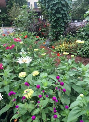 Zinnias and gomphrena...moonvine and red leaf hibiscus...