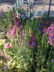 Snapdragons, foxglove, bachelor buttons - Better Late Than Never Garden - Late April 2015