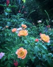 Rose and Porterweed - Kris' Garden