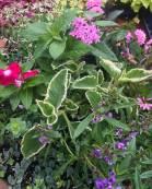 Container Garden - Summer 2017 - Pentas, Euphorbia, Cuban Oregano, Vinca