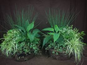 Planted Containers for Shade - Juncus, Euphorbia, Hosta, Pilea